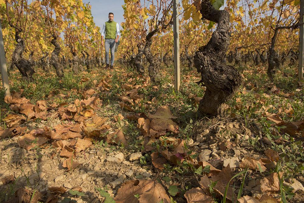 la vigne par Lorenzon
