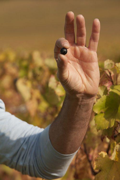 la vigne - grain de raisin Lorenzon